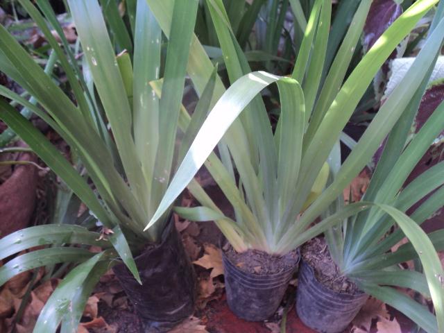 Plantas morenal neomarica gracilis iris del caminante for Plantas ornamentales del peru