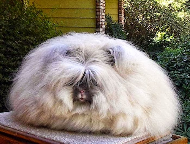 Mail2Day: Large Fluffy Angora Breed Bunnies (12 pics)