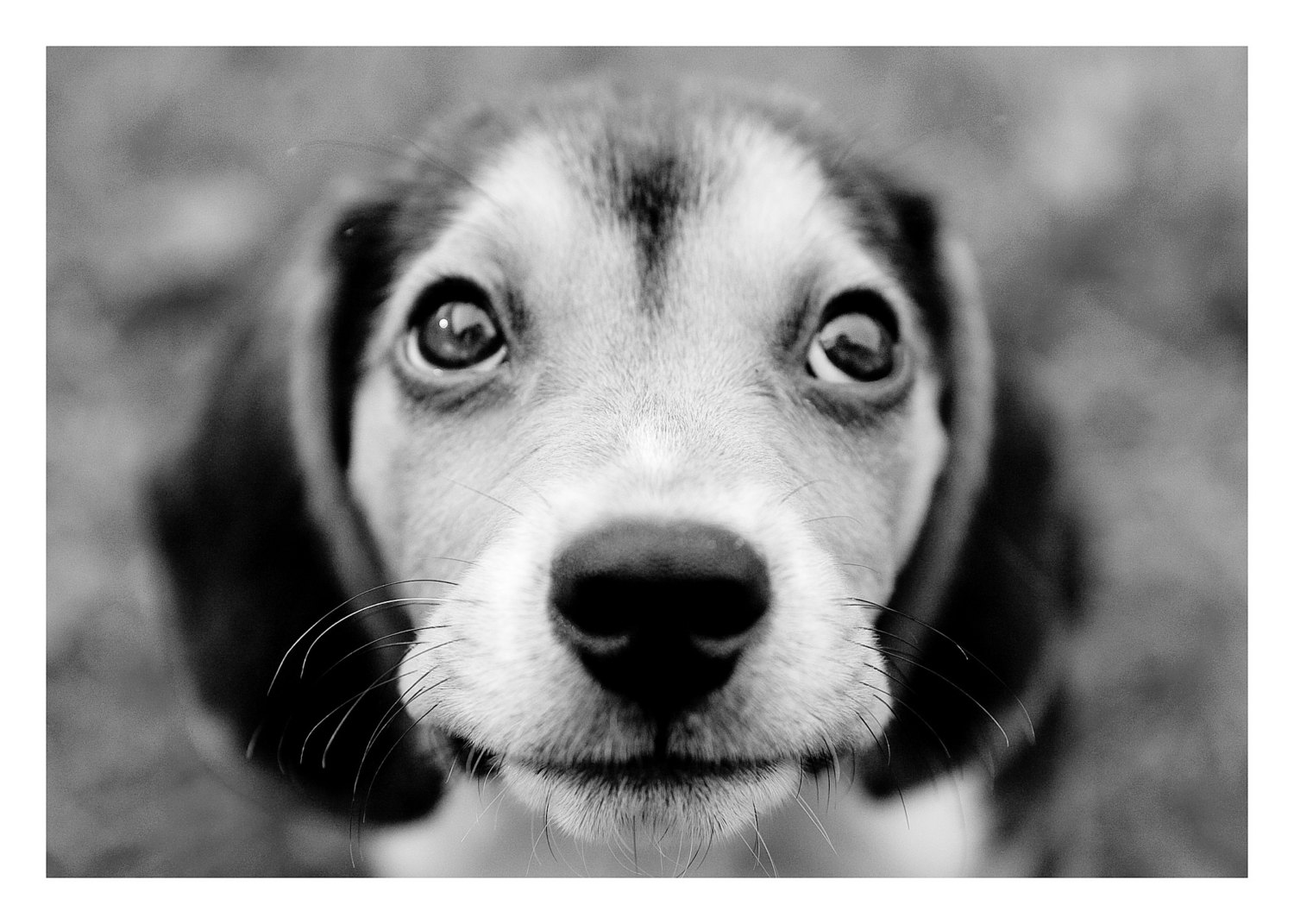 Beagle black and white puppies