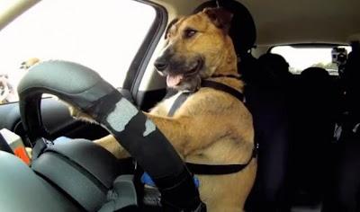 o primeiro cachorro motorista do mundo