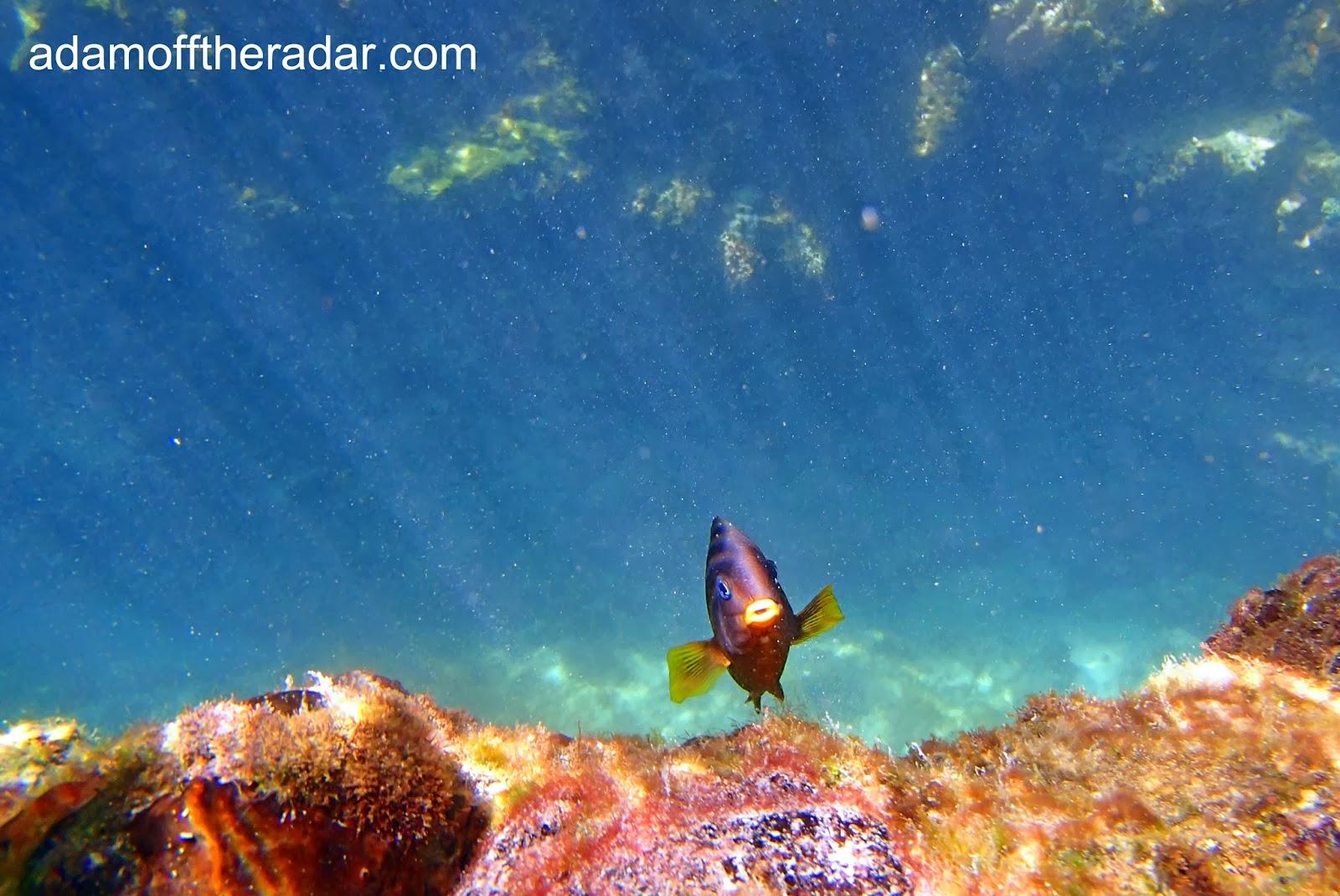 damsel fish galapagos