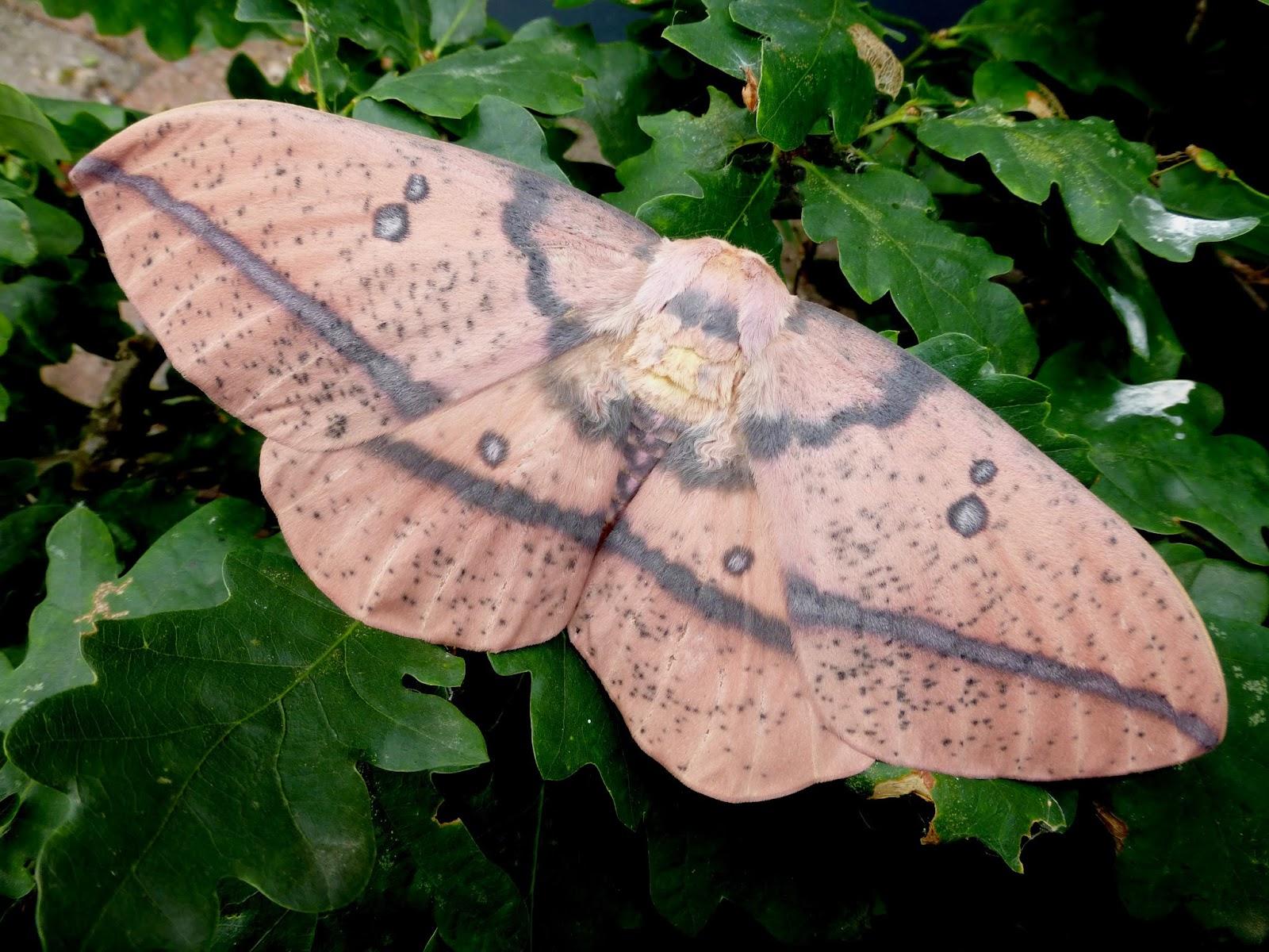Eacles oslari female