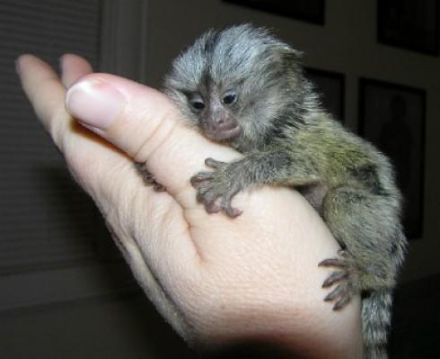 $###Lovely Baby Capuchin Monkeys For Adoption Hello, i got some angelic baby Capuchin monkeys ready for new loving maitibursi.tk are in the best of health maitibursi.tk vaccinated and vet checked and come with all health maitibursi.tk are 12 weeks old.
