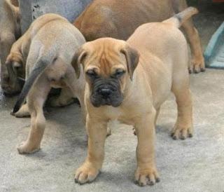 Bullmastiff Puppy Picture