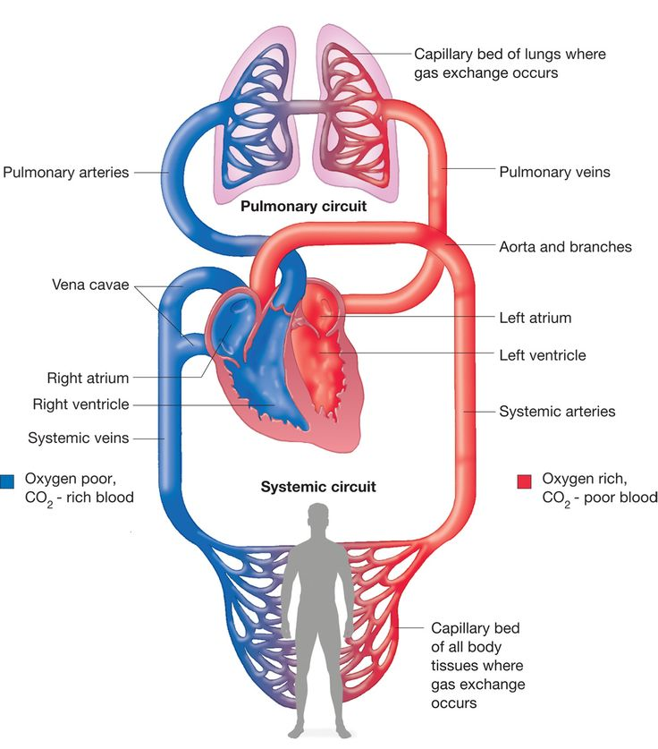 Adaptations Of Heart And Peripheries To Cardio