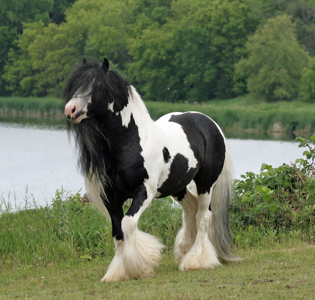 gypsy vanner horses  britst         