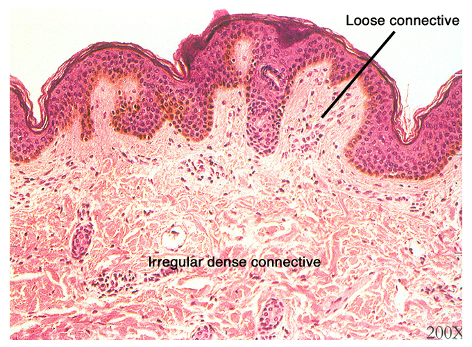 18. loose connective tissue: Animal tissue with fibers, fibroblasts ...
