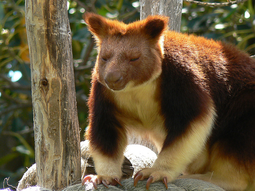 unlike other kangaroos goodfellows tree kangaroos like to stay in the treetops rather than hopping around on the ground they choose to live in the