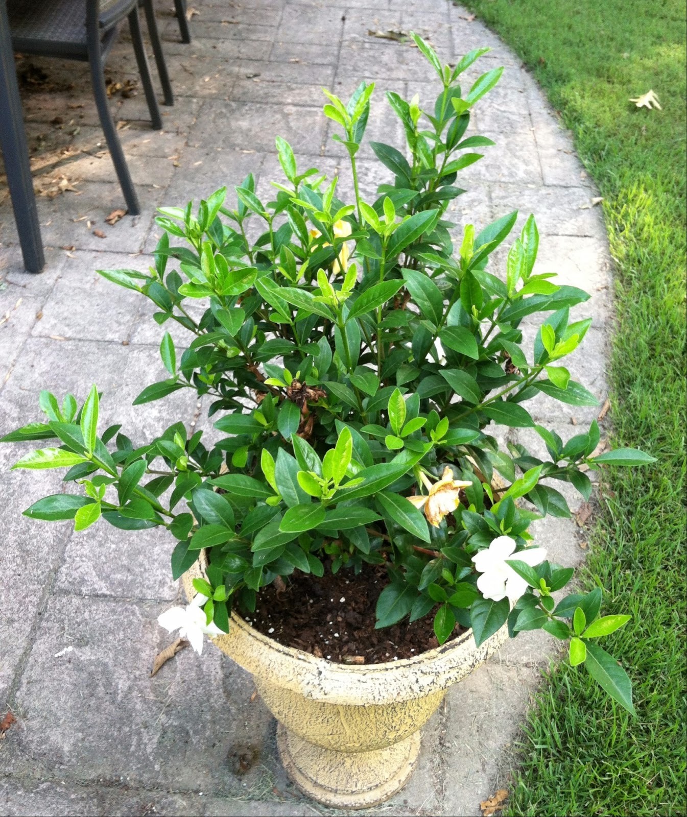 ... In Among Other Varieties Of Gardenias At Lowes. I Happily Bought Them  Both And Put One In A Bed Near The Patio And The Second In A Pot On The  Patio.