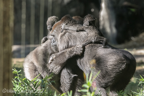 Gorilla moms and babies