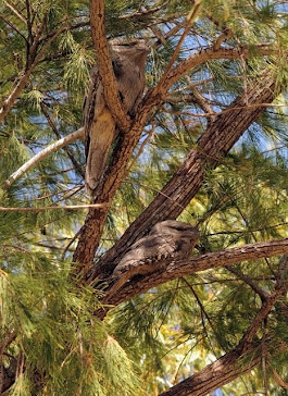 Tawny Frogmouth, pair