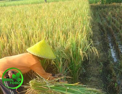 Ngarit atau derep, memotong batang padi menggunakan sabit pada panen padi