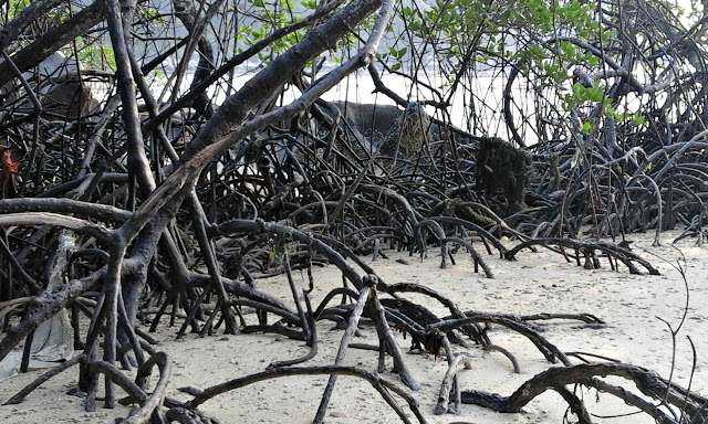 Mangroves at low tide on Tulai Island, our first anchorage sailing home