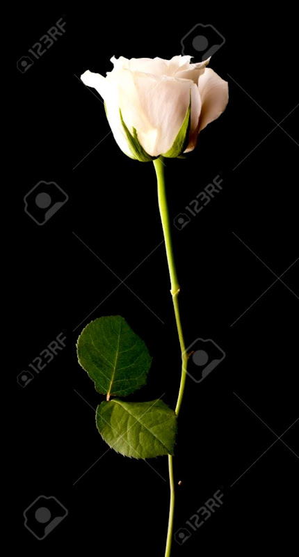 Single White Rose On A Black Background Stock Photo Picture And