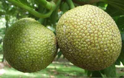 macam macam olahan dari buah sukun