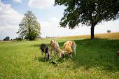 Pasący się Arrowek z kozami...