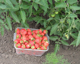 Завязь помидоров пока мельче ягод клубники
