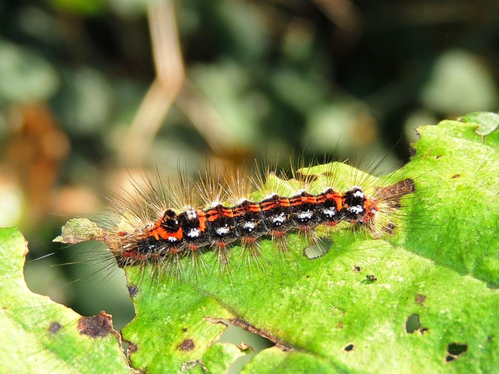 Oruga de Euproctis similis