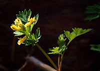 Pale Corydalis -- Ozark Wildflower