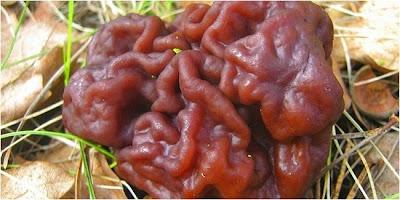 Jamur Paling Beracun Di Dunia