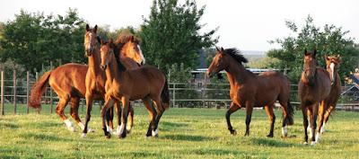 cavallos