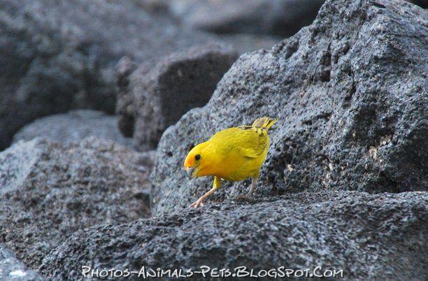 http://3.bp.blogspot.com/-6weyhf0rPMQ/Tts91kFzGZI/AAAAAAAACZ0/PR85khGI5Xs/s1600/yellow%2Bfinch.jpg