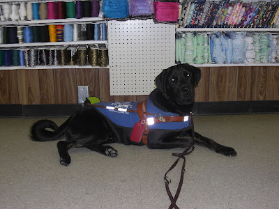 Picture of Rudy in a down-stay in harness/coat at Mary Jo's - lots of ribbon is behind him