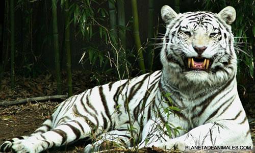 Extincion del tigre blanco extinci n del tigre blanco for Bengala asia