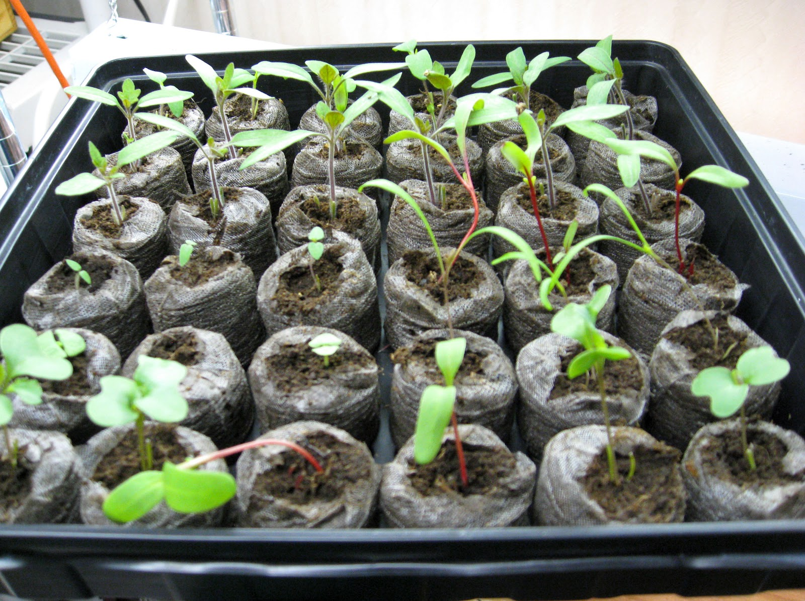 Suburban gardeness carrot frustration and no more room for How to grow cherry tomatoes from seeds