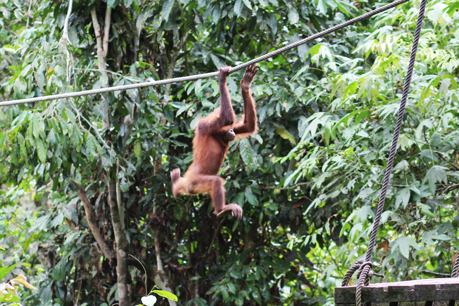 Sepilok Orangutan Rehabilitation Centre Borneo Posh, Broke, & Bored