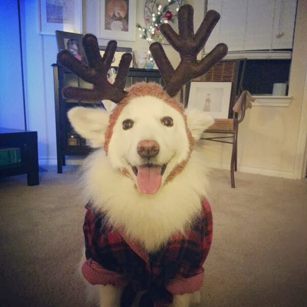 Cute dogs (50 pics), dog pictures, cute dog wears antler hat