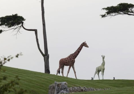 giraffes in kim dotcoms new zealand mansion lawns
