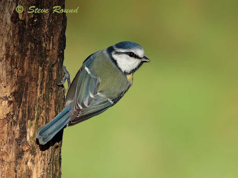 bird, blue tit, nature, wildlife