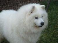 Samoyed Puppies Photos