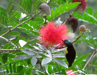 Crimson-backed Sunbird, Small Sunbird, Leptocoma minima