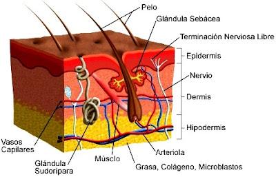Dibujo de la piel indicando sus partes
