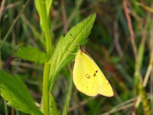 早朝なので雑草にじっと耐えてるチョウがいた!