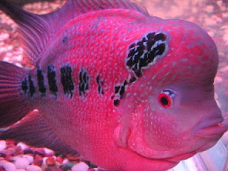 wallpapers The Red Flowerhorn Fish
