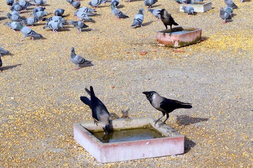 bird crow drink water in summer