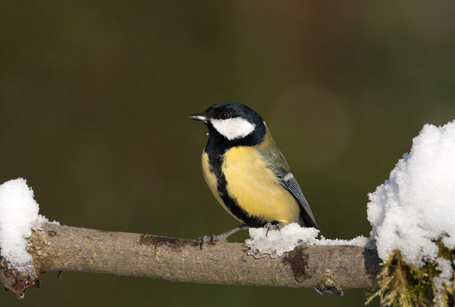 Koolmees (Parus major, Coal tit)