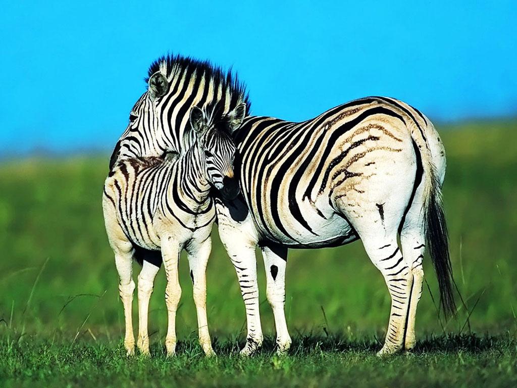 http://3.bp.blogspot.com/-6zJ3j71u_Ps/T6lMZ5a1NTI/AAAAAAAAeFk/e9-EaCsHR_E/s1600/Zebra-Wallpapers1.jpg