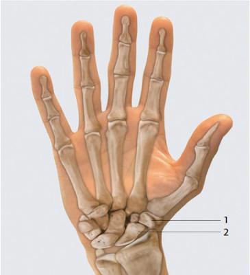 бугорок кости трапеции, tuberculum ossis trapezii бугорок ладьевидной кости