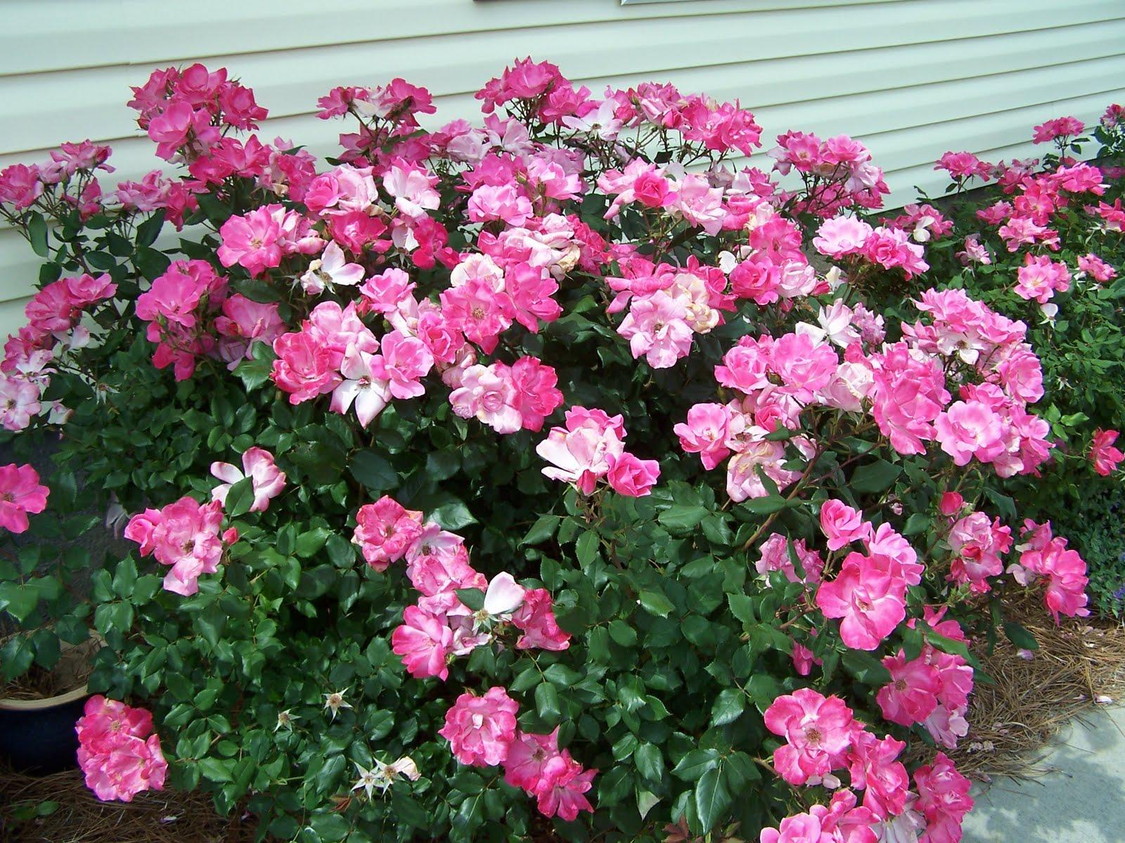 Henny Penny Rose Cottage: Don't knock Knockout Roses!
