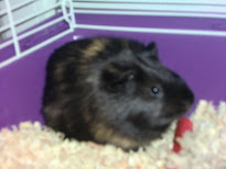 Magic the Guinea Pig