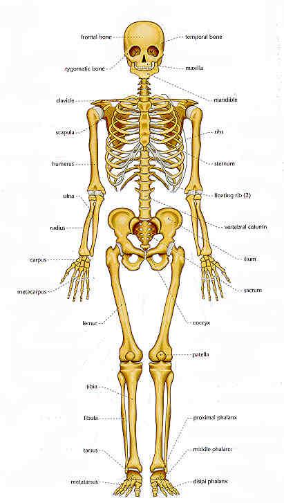 Bones In The Adult Human Body 58