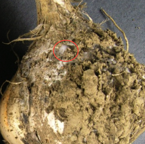 White Rot in Garlic http://sustainingfarminguf.blogspot.com/2012/04/organic-farm-calls-white-rot-on-garlic.html