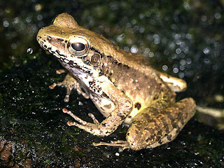 ryukyu tip nosed frog