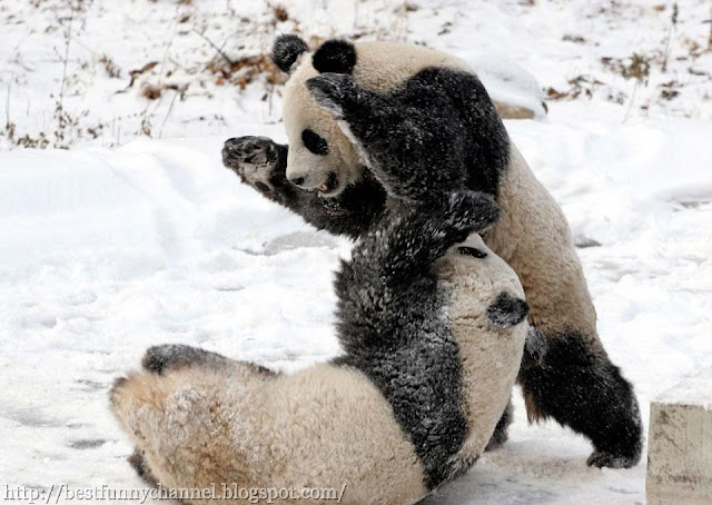 Pandas while playing.
