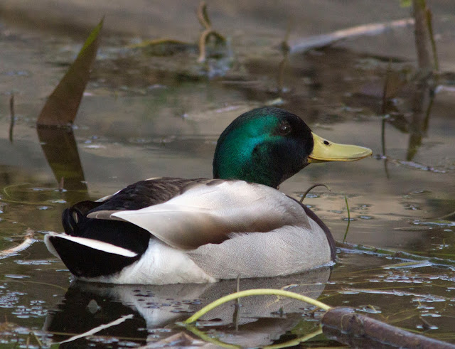 Mallard, Anas platyrynchos.  Male.   Bird walk in Jubilee Country Park, 24 March 2012.