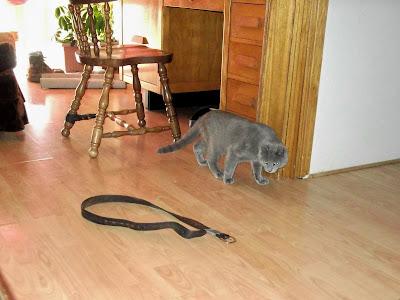 grey cat carefully begins to circle belt